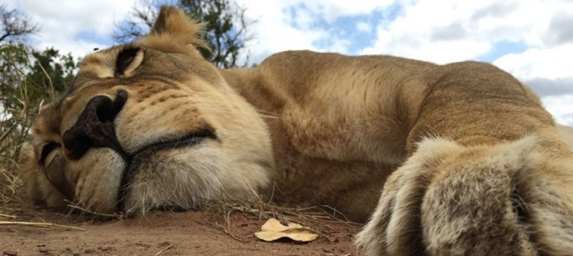 Lion whisperer 01