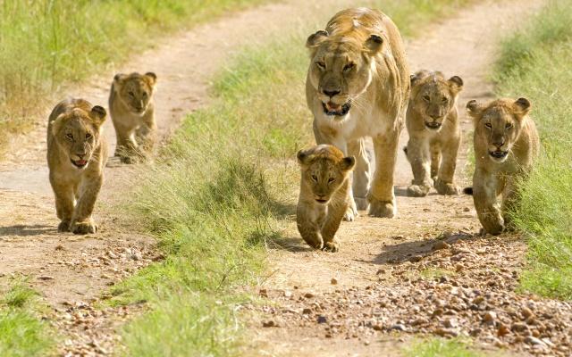 Lion whisperer 04