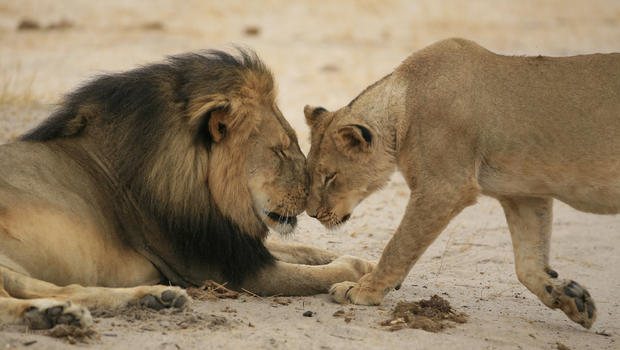Cecil and one of his lionesses